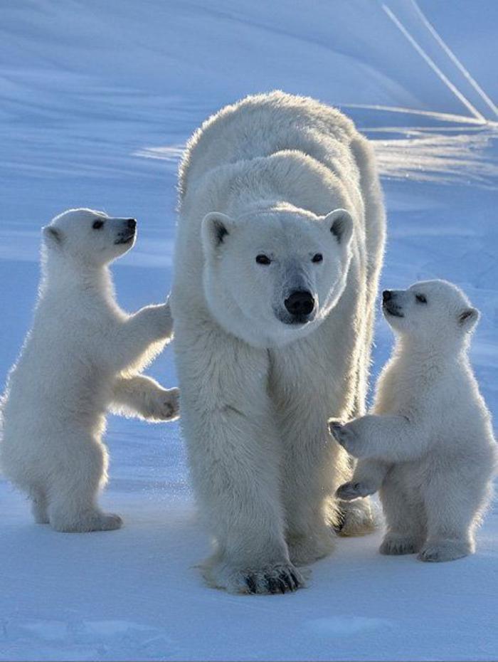 ours-polaire-femelle-avec-ses-deux-petits