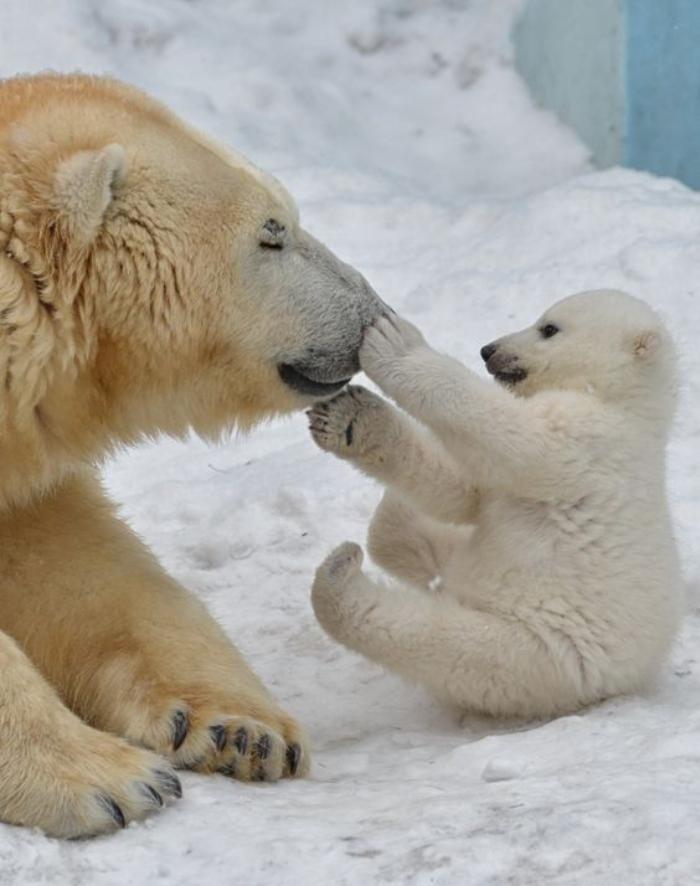 ours-polaire-jeux-sur-la-neige