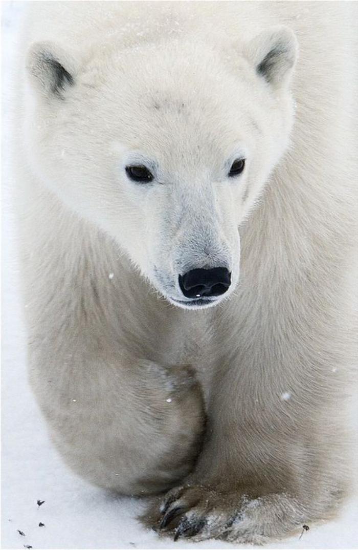 ours-polaire-joli-ours-blanc-mamnifère-magnifique
