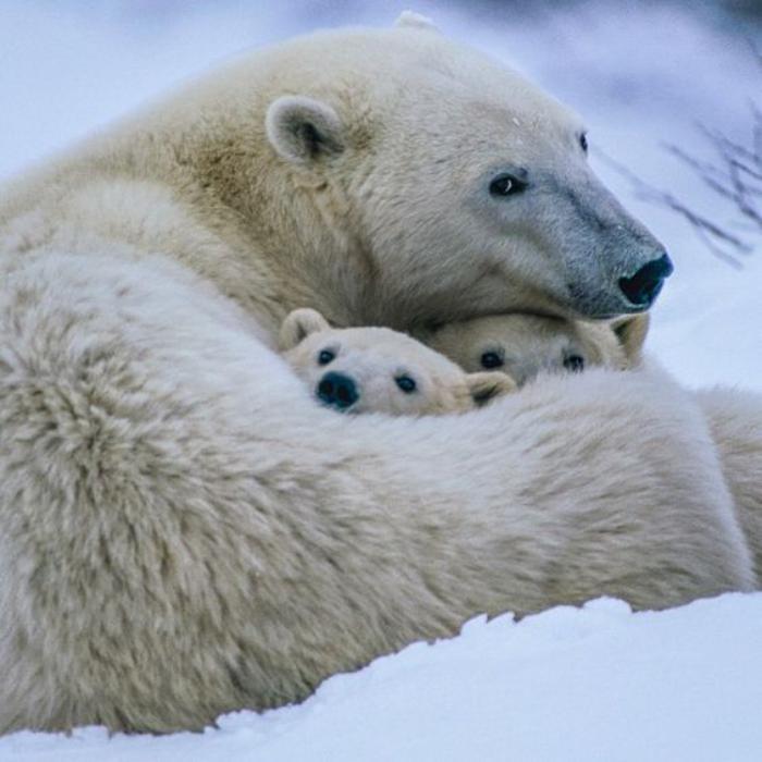 ours-polaire-jolies-photos-d'animaux-arctiques
