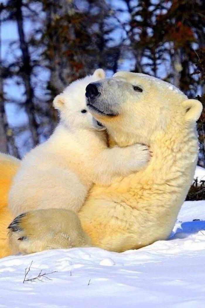 ours-polaire-la-vie-des-ours-polaires