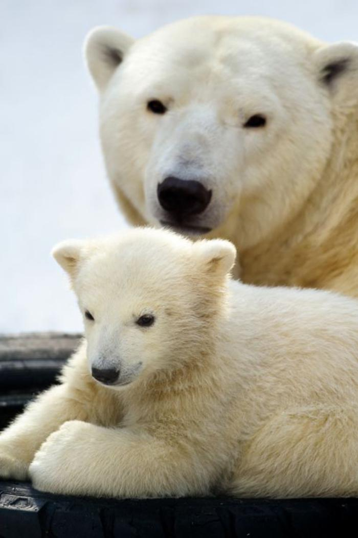 ours-polaire-ui-se-repose-avec-sa-mère