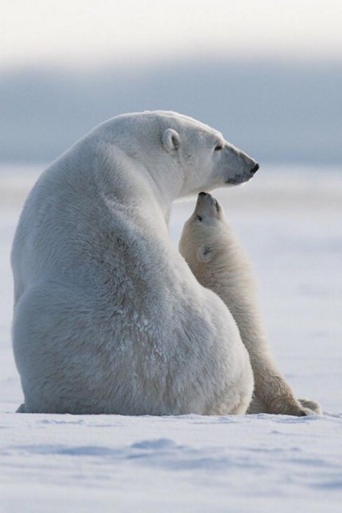 ours-polaire-les-ours-polaires-dans-leur-habitat