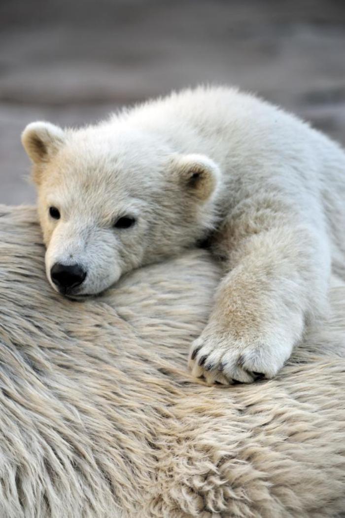 ours-polaire-les-ourses-polaires-maman-et-son-petit