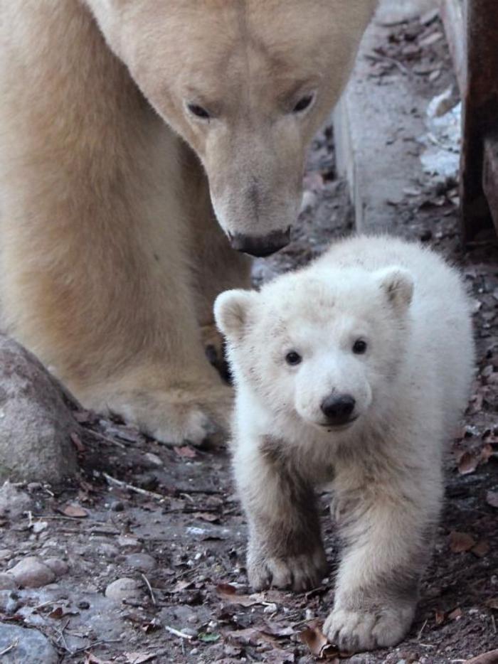 ours-polaire-maman-et-son-petit