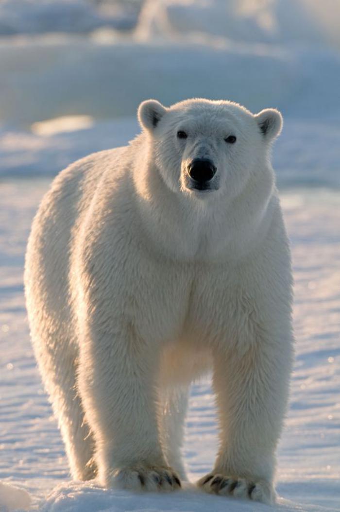 ours-polaire-sur-la-glace