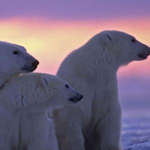 L'ours polaire en 44 photographies uniques
