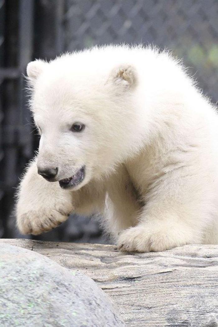 l u0026 39 ours polaire en 44 photographies uniques