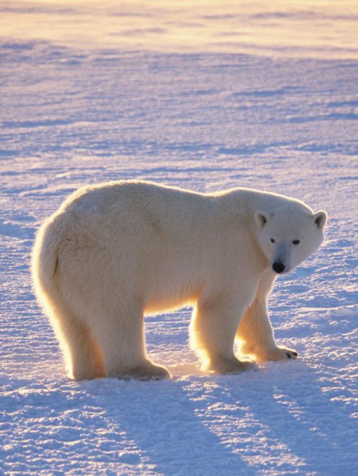 ours-polaire-paysage-arctique-et-ours-blanc