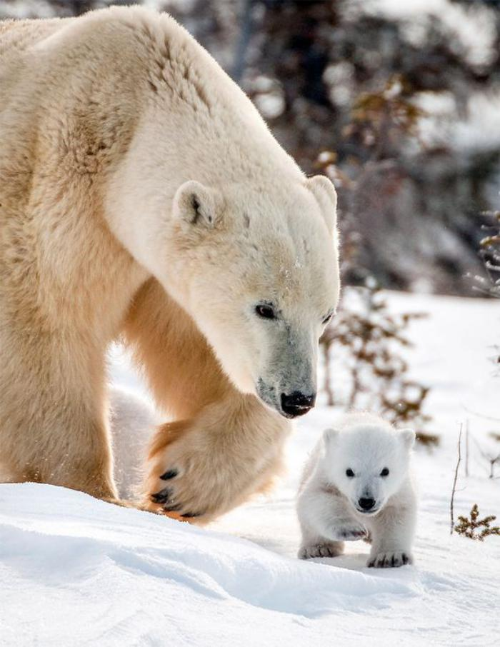 ours-polaire-photos-d'animaux-sympathiques