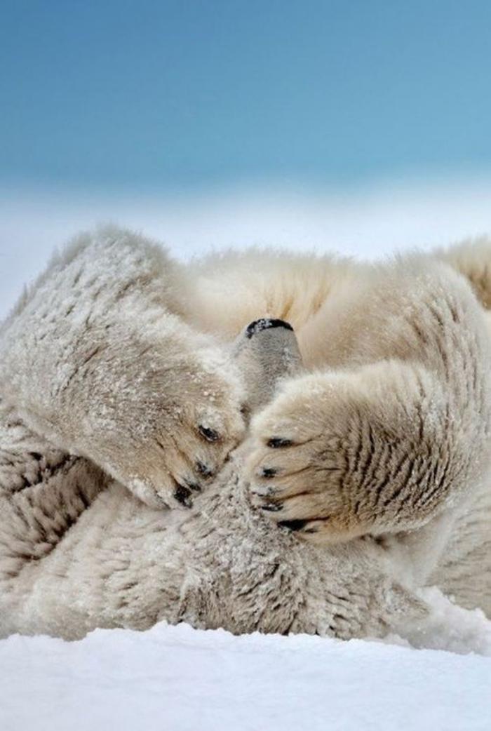 ours-polaire-posture-amusante-d'un-ours-blanc