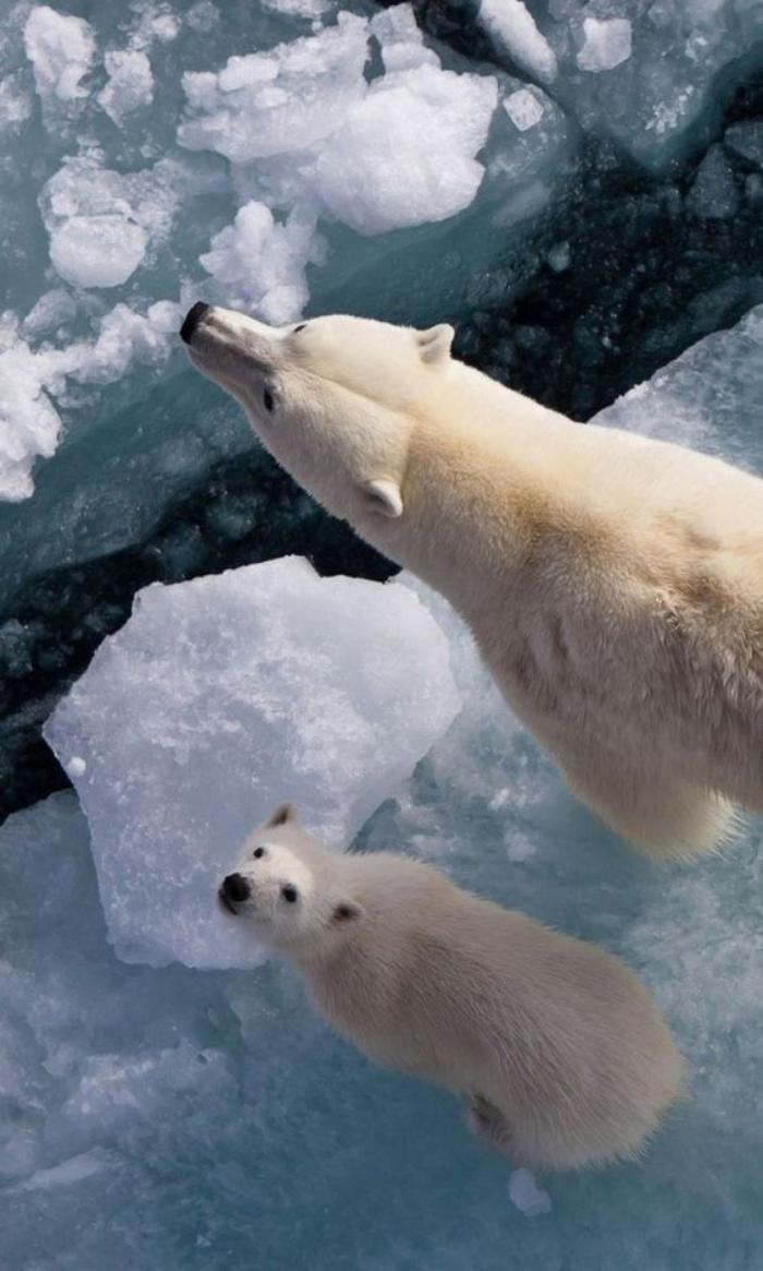 ours-polaire-sur-la-glace-arctique