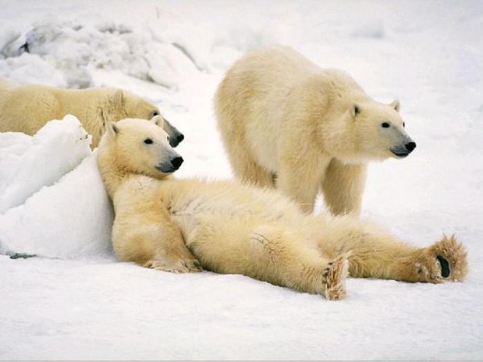 ours-polaire-trois-ours-polaires-qui-jouent-dans-la-neige