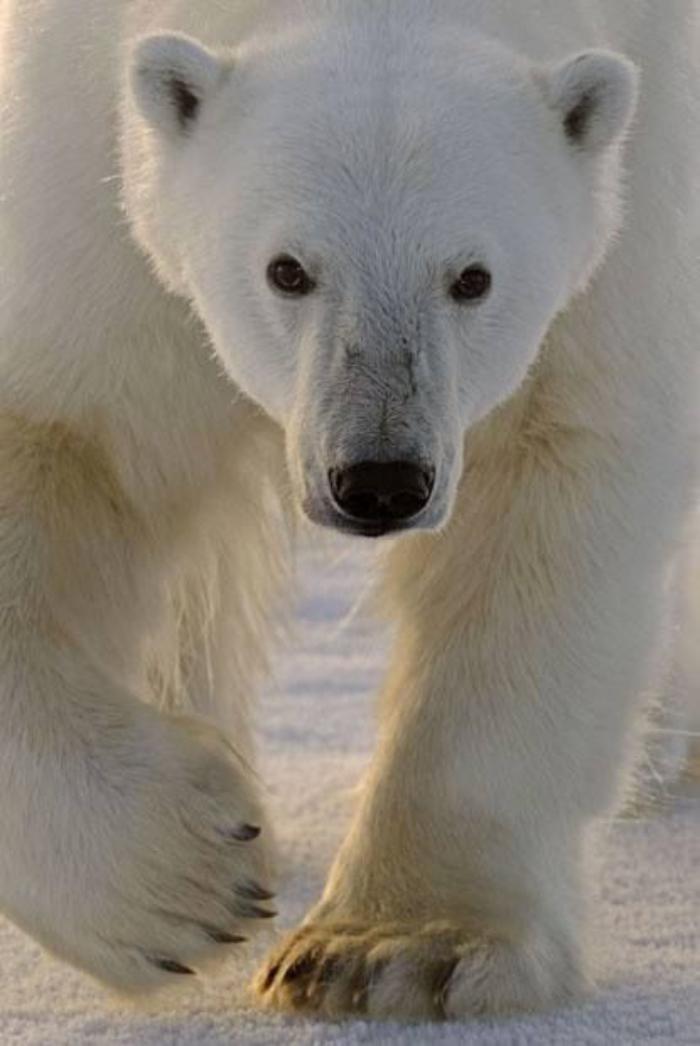 ours-polaire-un-mâle-impressionnant-ours-blanc