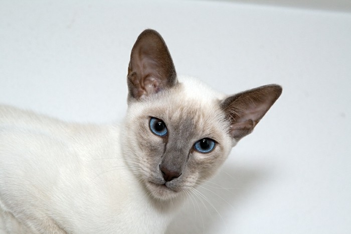 petit-chat-mignon-chaton-trop-mignon-chats-siamois-caractère-chat-siamois-prix