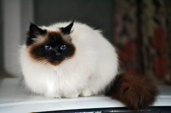 petit-chat-mignon-chats-siamois-caractère-chat-siamois-prix-image-mignonne