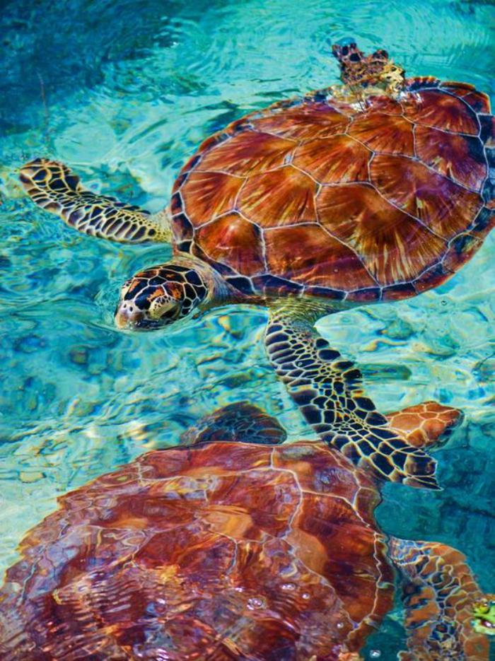 polynésie-française-voyage-deux-tortues-de-mer