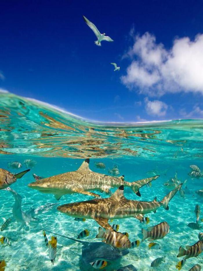polynésie-française-voyage-requins-dans-les-eaux-bleues