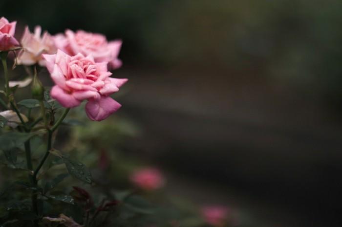 printemps-beauté-nature-et-decouverte-france-environnement-fête-de-la-nature-rose