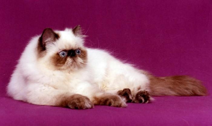 siamoi-chat-siamoi-chats-siamois-prix-siamoise-chats-mignons-chaton