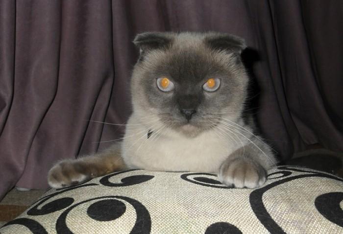 siamoise-siamoi-chat-trop-mignon-chats-siamois-caractère-chat-siamois-prix