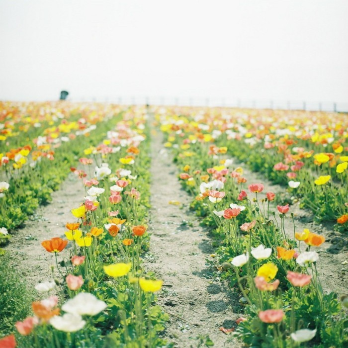 superbe-photos-nature-images-paysages-joli-paysage-les-tulipes