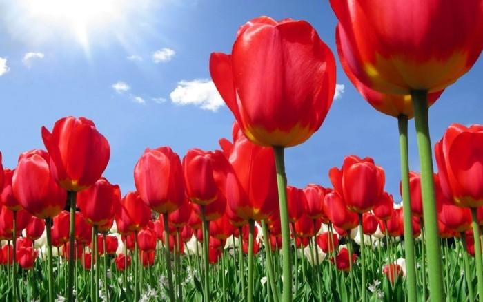 une-belle-photographie-plus-belle-image-du-monde-nature-tulips