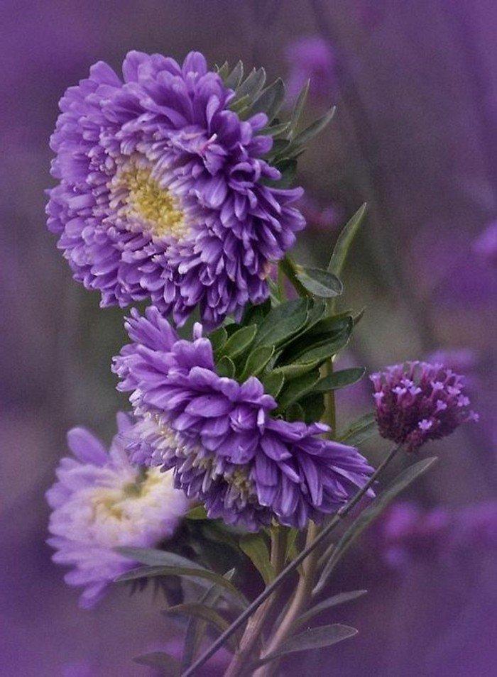 arbuste-fleurs-violettes-fleur-de-violette-fleur-violette-sauvage-beau-vu-les-fleuries-jolies