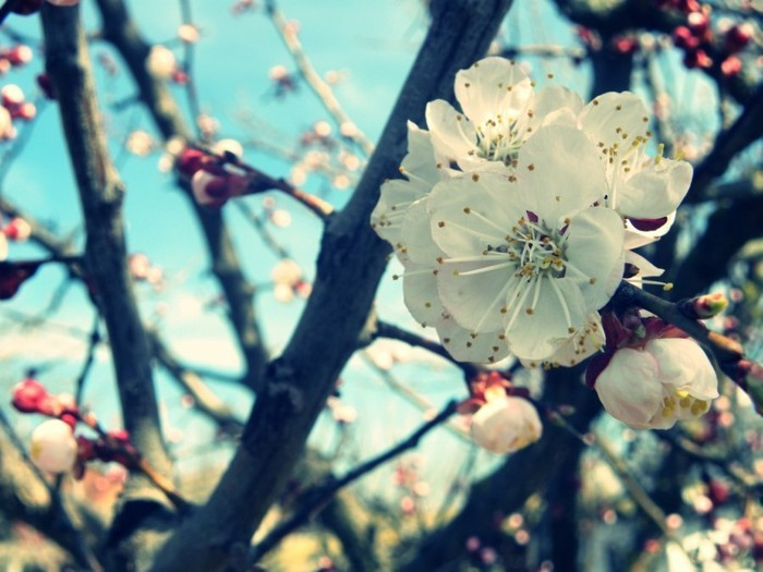 belle-nature-le-printemps-arrive-originale-image-arbre-fleurie-une-gleur-blanche
