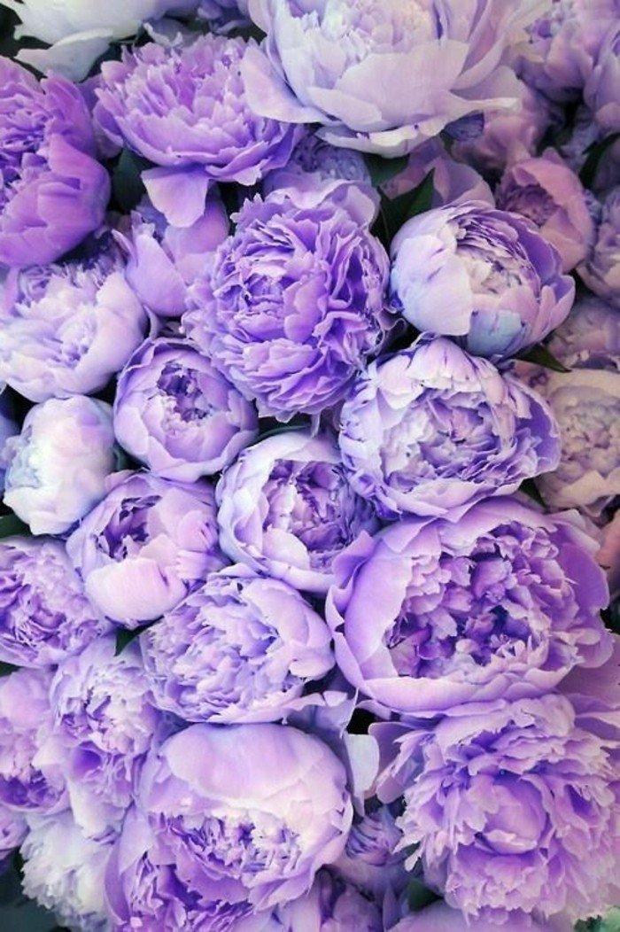 cool-pensées-fleurs-viola-cornuta-violette-fleur-qui-donne-des-sourires-belle