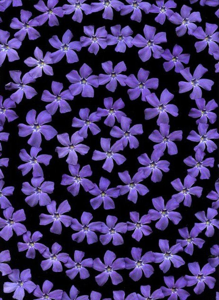 cool-pensées-fleurs-viola-cornuta-violette-fleur-qui-donne-des-sourires-circle