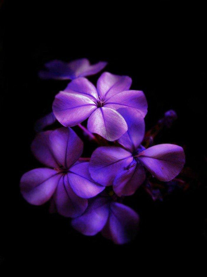cool-pensées-fleurs-viola-cornuta-violette-fleur-qui-donne-des-sourires-cool