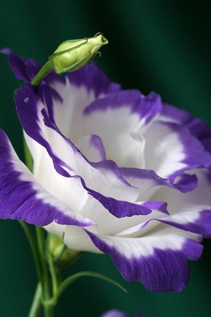 inspiration-photographie-nature-et-fleurs-belle-image-fleurie-blanc-et-violet