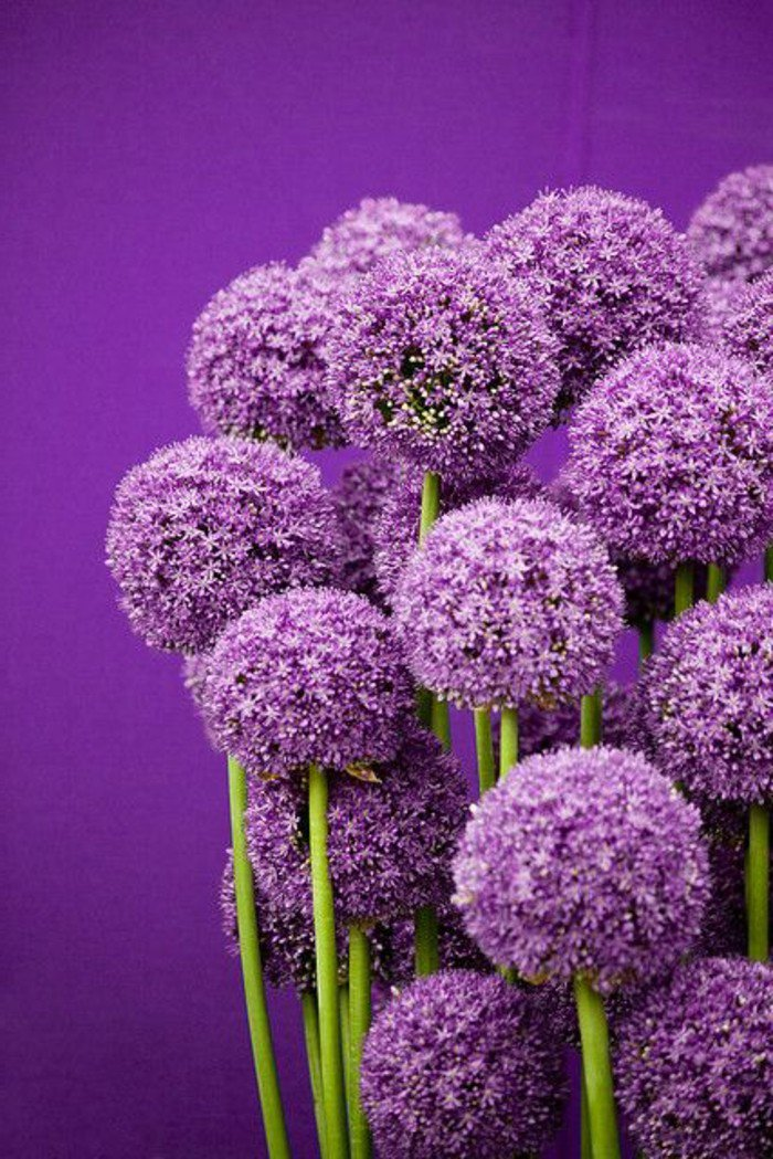 les-adorables-fleurs-rondes-hollandais-cool-photograpgie-violet-fleurs