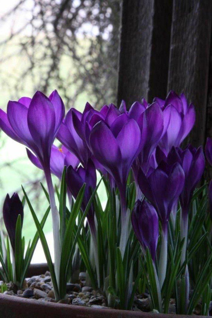 les-plus-belles-images-fleurs-viole-twater-violet-fleur-de-bach-cool-photo-nature-chez-soi