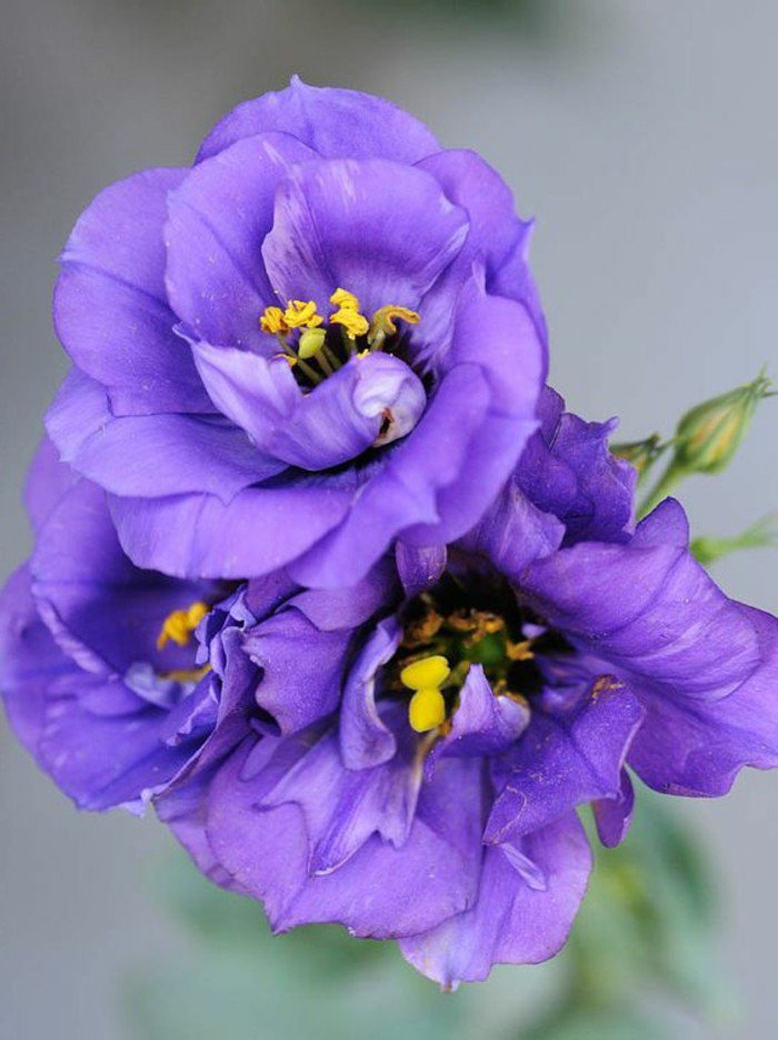 les-plus-belles-images-fleurs-viole-twater-violet-fleur-de-bach-une-idée