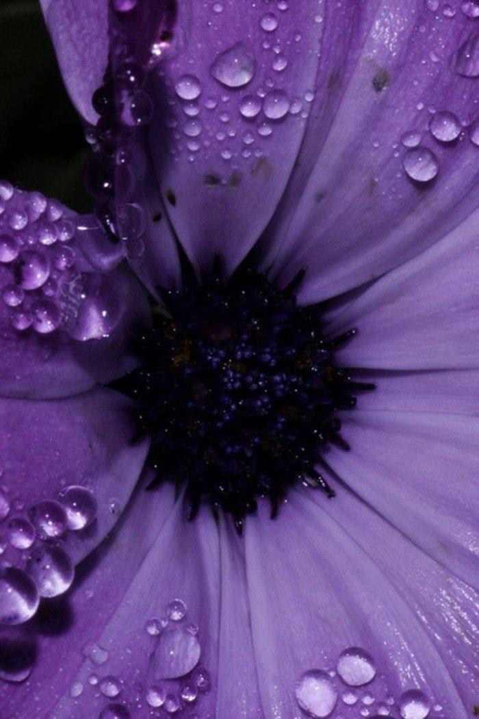 lila-beauté-de-la-nature-fleure-violette-fleurs-violettes-vivaces