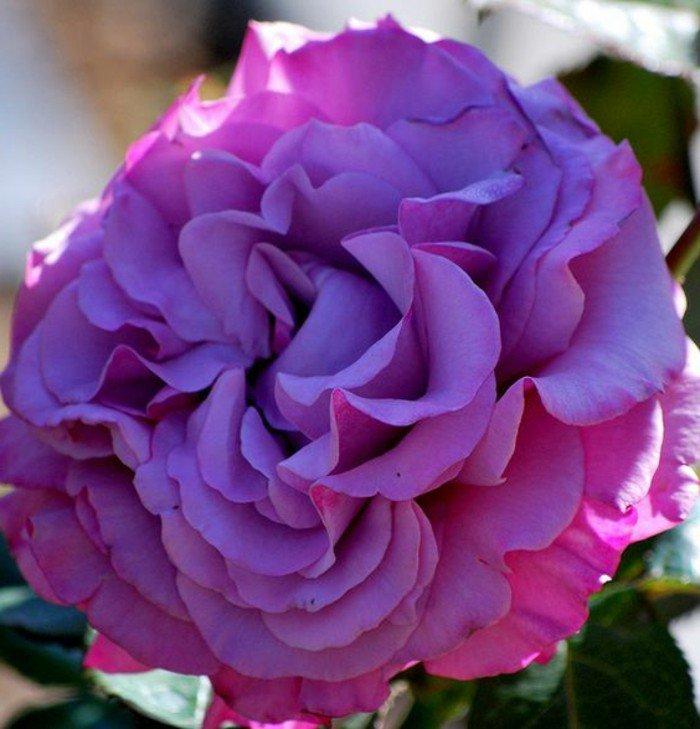 magnifique-fleur-violettes-fleur-la-violette-bouquet-de-violettes-fleurs-grande-rose-fleurie