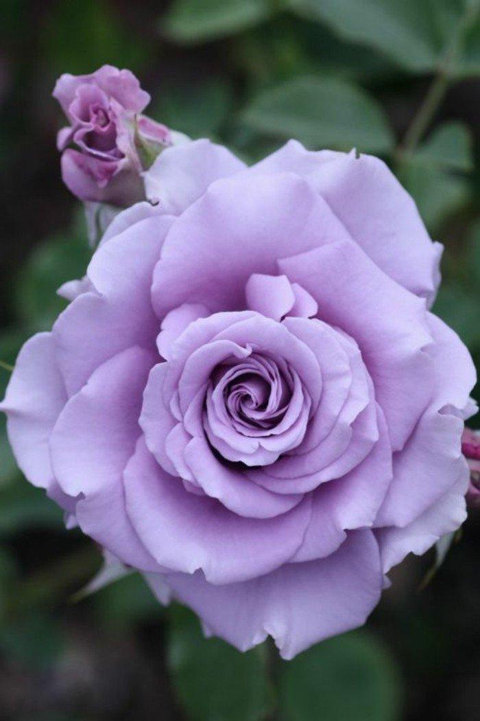 mauve-fleur-couleur-des-alpes-couleur-violette-pensee-fleur-violet-claire