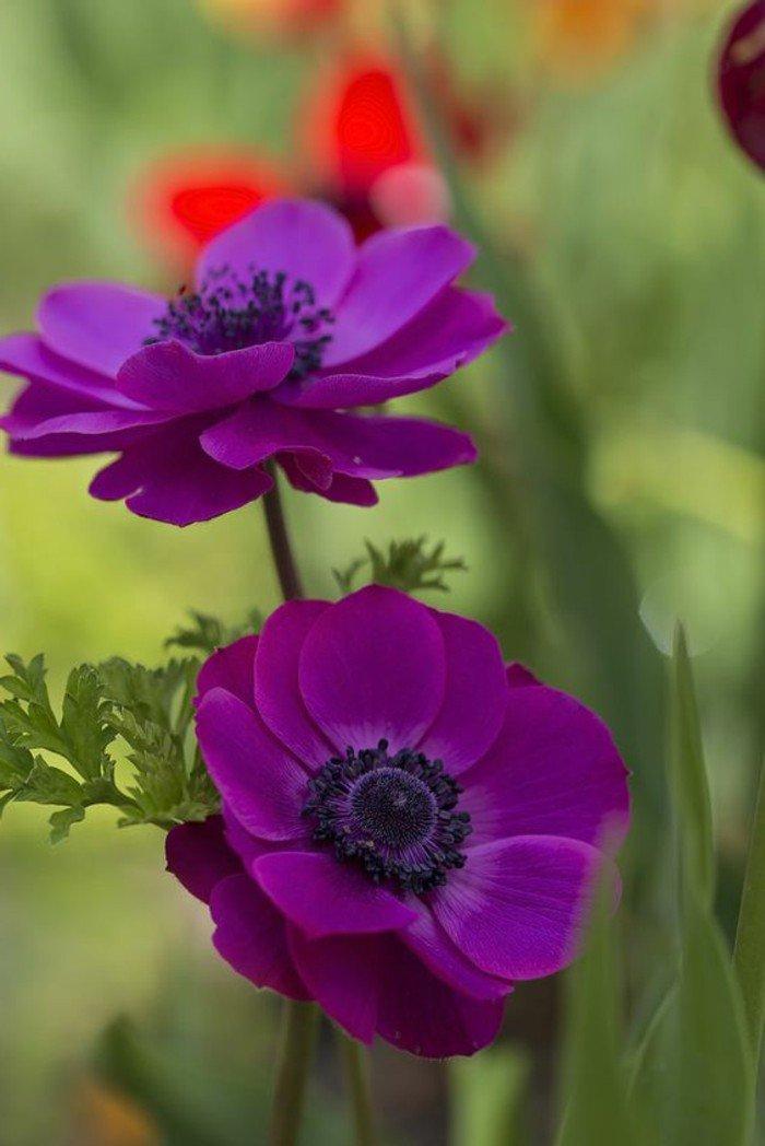 mauve-fleur-couleur-des-alpes-couleur-violette-pensee-fleur-violet-cool-pgoro