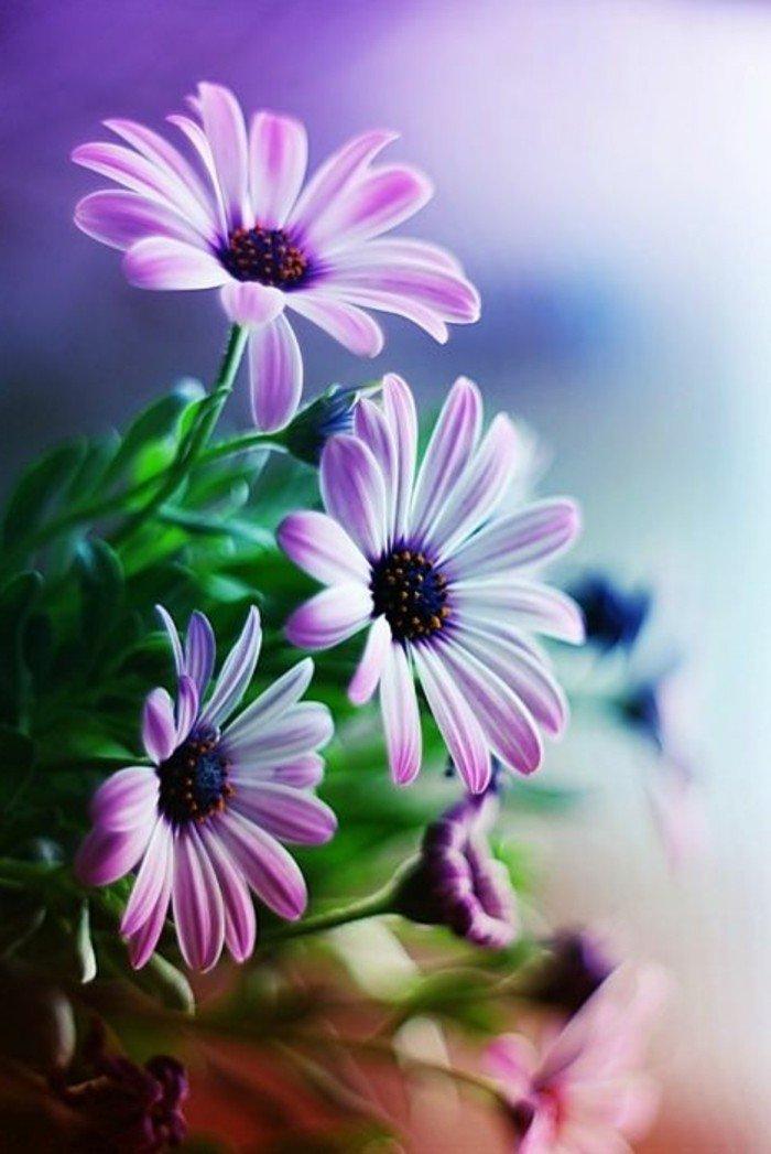 mauve-fleur-couleur-des-alpes-couleur-violette-pensee-fleur-violet-la-nature