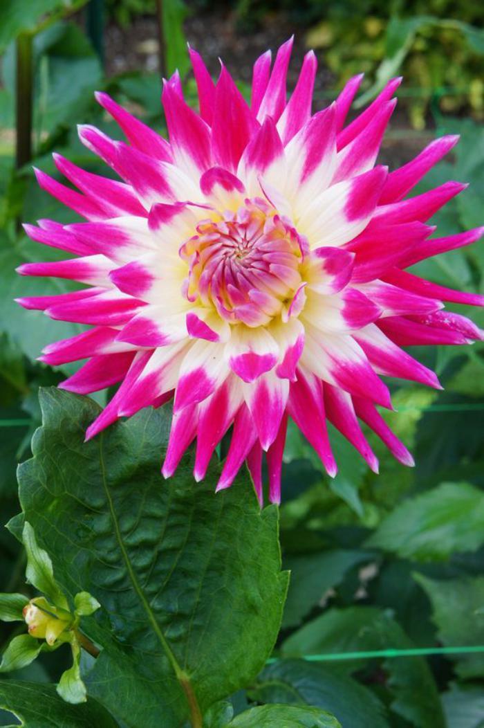 parc-floral-de-vincennes-dahlia-rose-au-bois-deVincennes