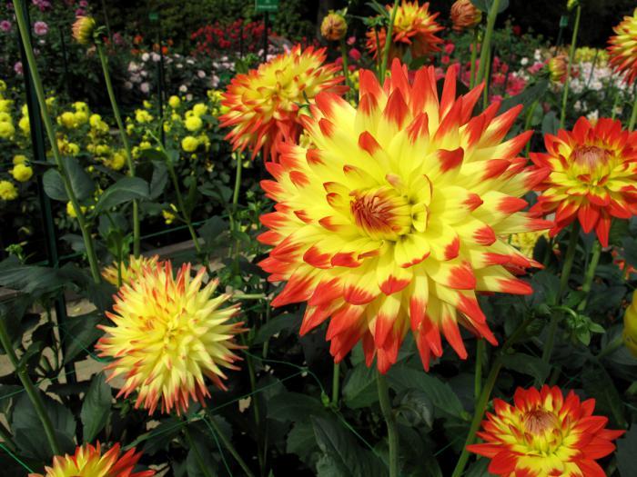 parc-floral-de-vincennes-dahlia-jaune-concours-dahlias
