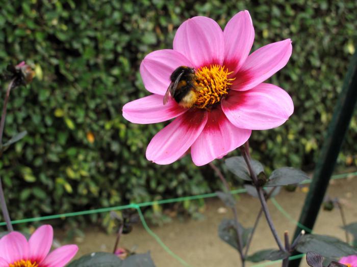 parc-floral-de-vincennes-dahlia-rose-et-abeille