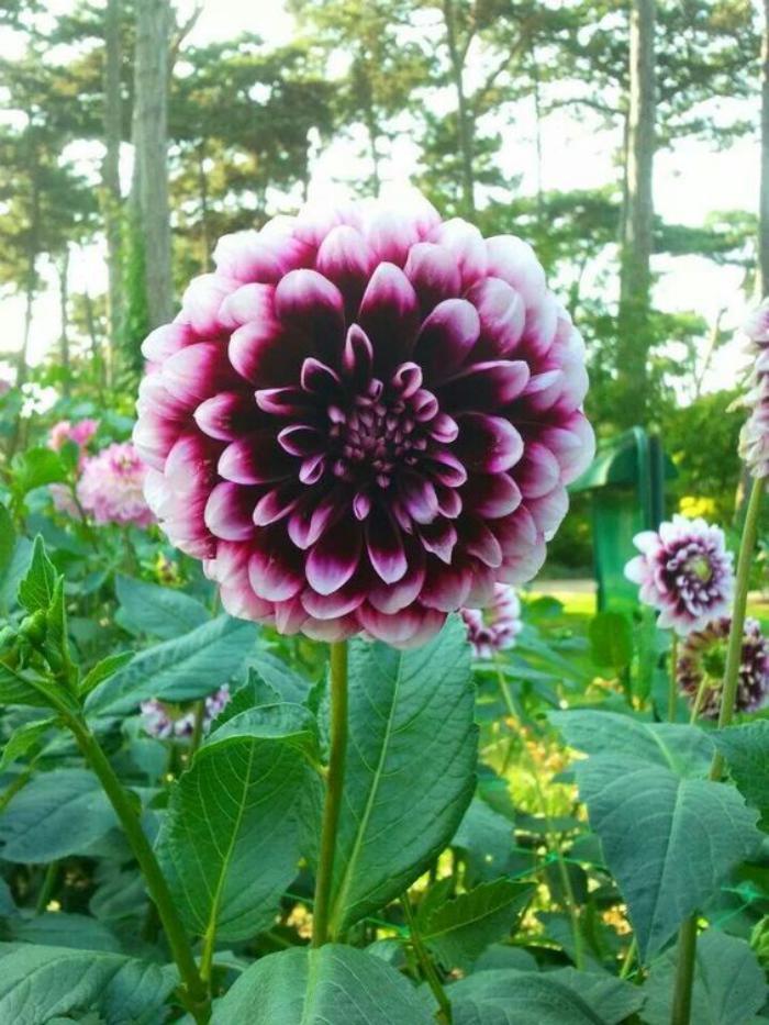parc-floral-de-vincennes-dahlias-lilas-photo