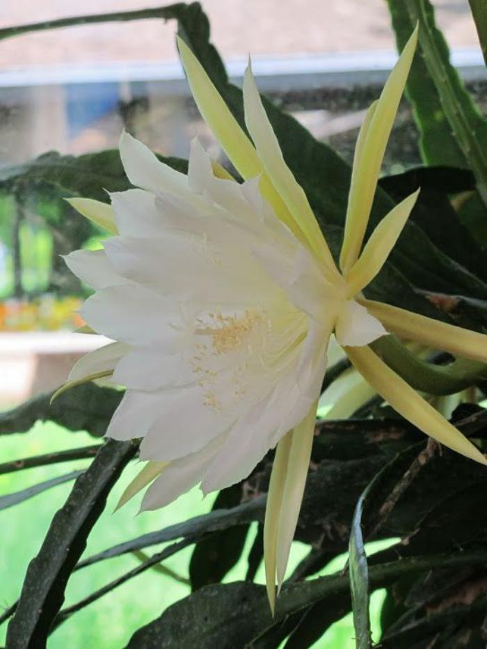 parc-floral-de-vincennes-fleur-blanche-épanouie