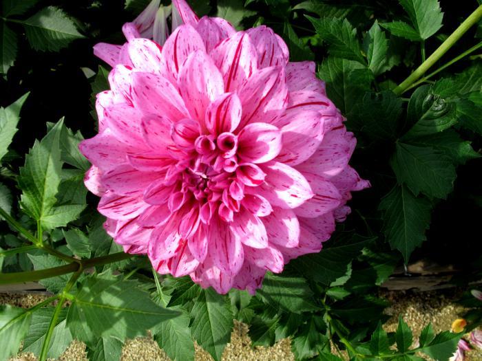 parc-floral-de-vincennes-la-beauté-des-fleurs-dahlias