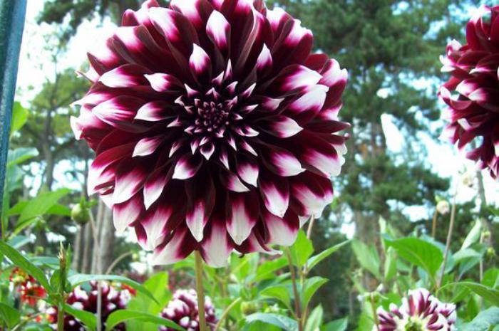 parc-floral-de-vincennes-le-dahlia-pourpre