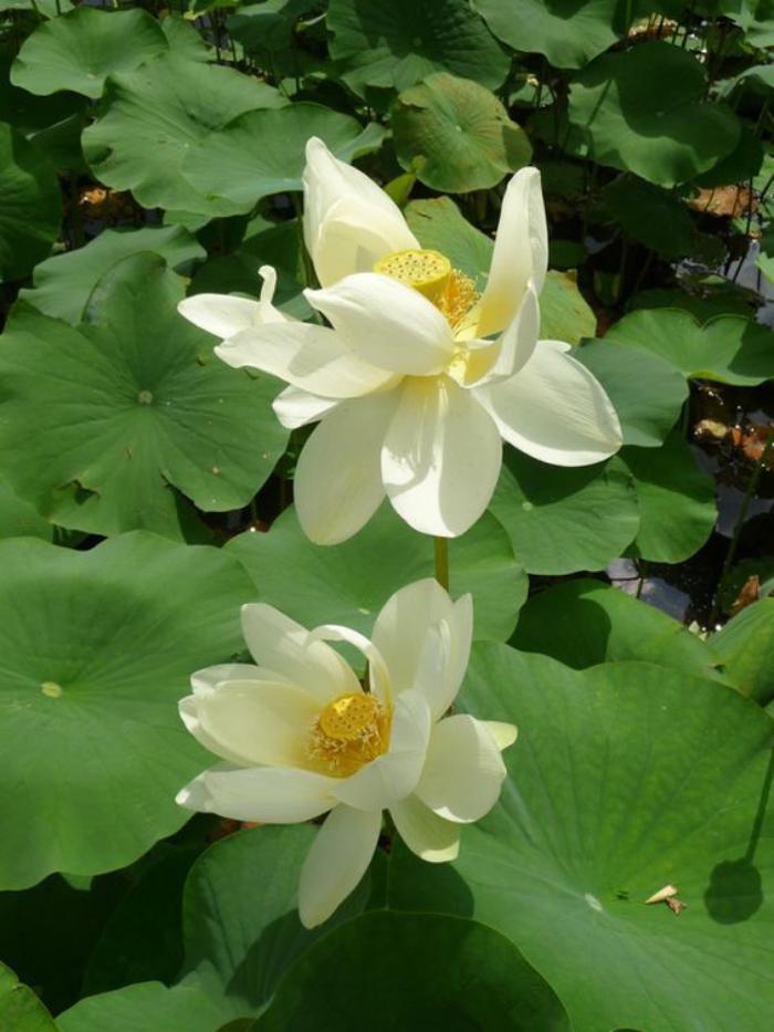 parc-floral-de-vincennes-lotus-blancs-dans-le-lac-de-vincennes