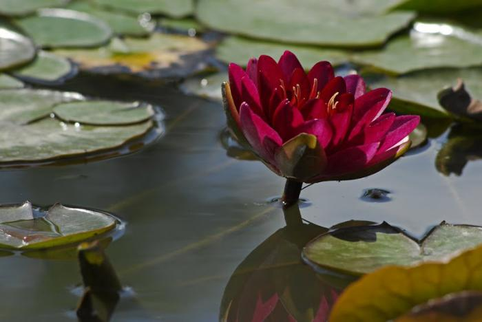 parc-floral-de-vincennes-lotus-rouge